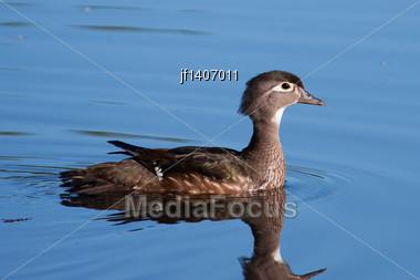 Wood Duck (Aix Sponsa) Swimming In A Lake Stock Photo
