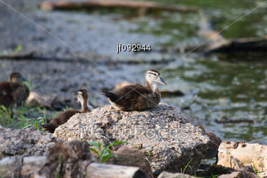 Wood Duck Duckling Sitting On A Rock Stock Photo