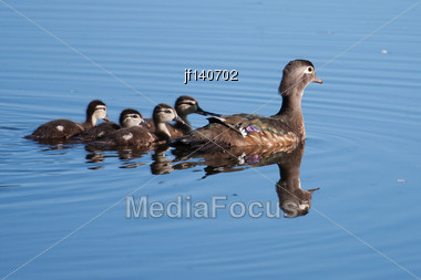 Wood Duck Ducklings And Motherout For A Swim Stock Photo