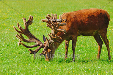 World-class Red Deer Stag, Cervus Elephus, In Velvet, Westland, New Zealand Stock Photo