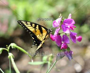 Yellow Butterfly On Sweet Peas Flowers Stock Photo