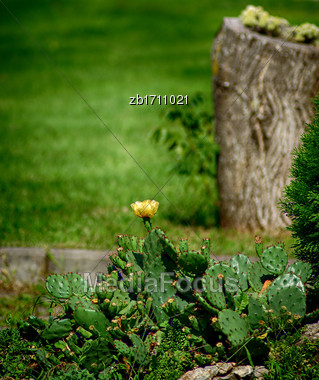Yellow Cactus Flower And Green Grass At Sunny Summer Day Stock Photo