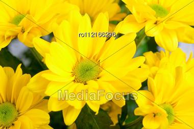 Yellow Color Chrysanthemum Flowers Close Up Stock Photo