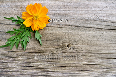 Yellow Cosmos Flower Decoration With Green Leaves On A Background Of The Old Board Stock Photo