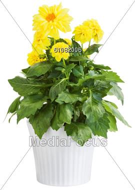 Yellow Dahlia Flower Stock Photo