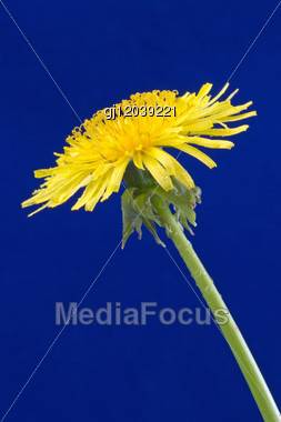 Yellow Dandelion Isolated Over A Blue Background Stock Photo