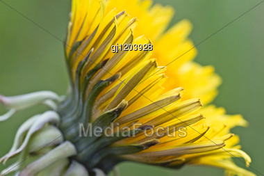 Yellow Dandelion On A Blurry Green Background Stock Photo