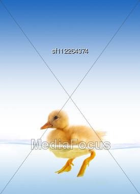 Yellow Duckling Swimming Stock Photo