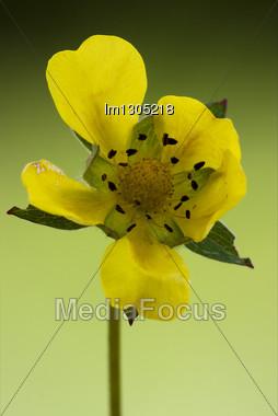 Yellow Flower Oenothera Biennis Onagracee Stricta Parviflora Erythrosepala Crocifere Biscutella Laevigata Didyma Lyrata Stock Photo