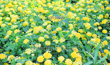 Yellow Flowers Blossoming In Spring Time Stock Photo