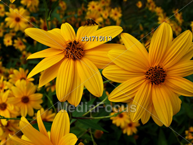 Yellow Flowers At Bright Sunny Summer Day Stock Photo