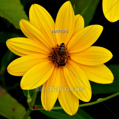 Yellow Flowers At Bright Sunny Summer Day With Bee On It Stock Photo