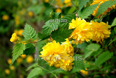Yellow Flowers And Fresh Green Leaves At Sunny Summer Day Stock Photo