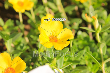 Yellow Flowers At Sun Light City Park Stock Photo