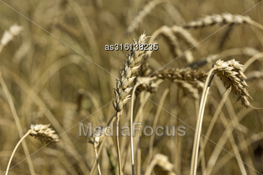 Yellow Grain Ready For Harvest Growing In A Farm Field Stock Photo