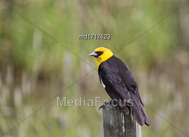 Yellow Headed Blackbird On A Post Canada Stock Photo