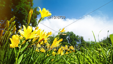 Yellow Lily Flowers On The Meadow, Panoramic Natural Backgrounds Stock Photo