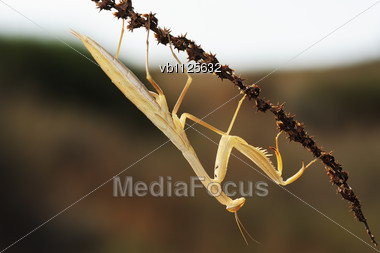 Yellow Mantis On The Plant In Israel Stock Photo