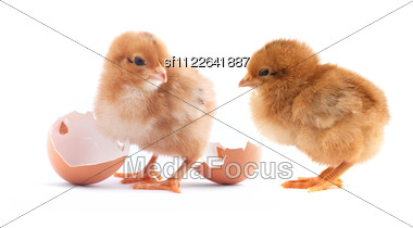 Yellow Small Chicks With Egg Stock Photo