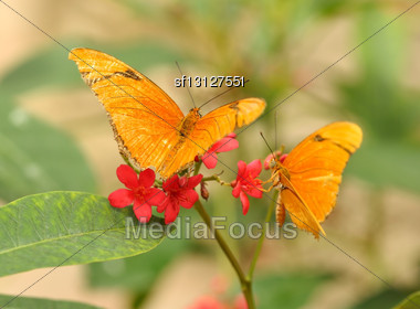 Yellow Tropical Butterflys ,Julia Longwing , On The Red Flowers Stock Photo