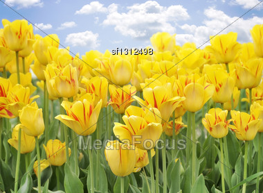Yellow Tulips Against A Blue Sky Stock Photo