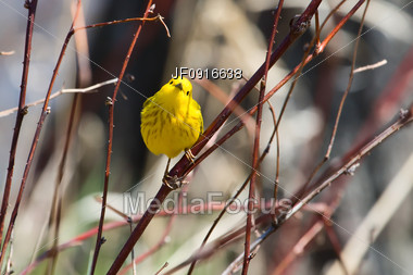 Yellow Warbler Stock Photo