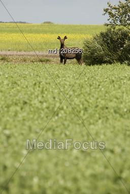 Young Bull Moose In Field Saskatchewan Canada Stock Photo