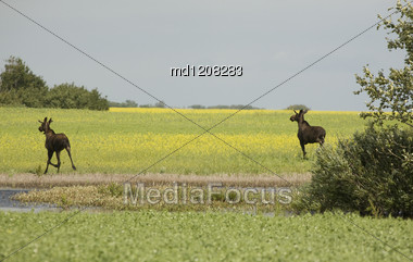 Young Bull Moose In Field Saskatchewan Canada Stock Photo