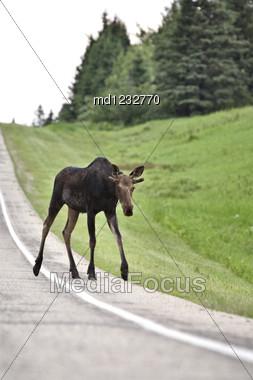 Young Bull Moose On Roadside Manitoba Canada Stock Photo