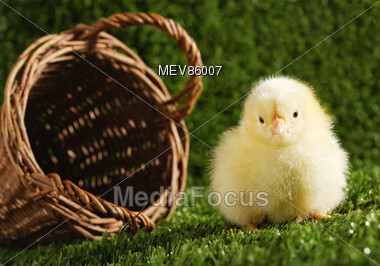 Young Chick Sitting Next To A Basket On Grass Stock Photo
