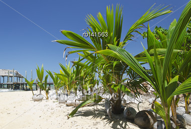 Young Coconut Seedlings Sitting On The Beach Stock Photo