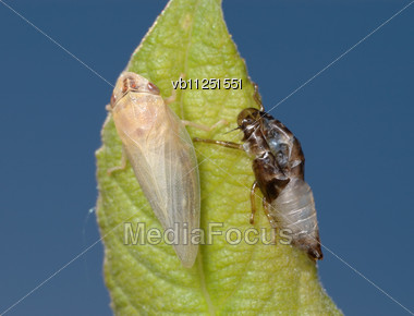Young, Fully Formed Cicada, Near The Old Skins Stock Photo