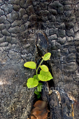 Young Green Sapling Growing Out Of Charred Stumps Stock Photo