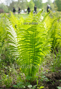 Young Plant Ostrich Fern In The Spring Stock Photo