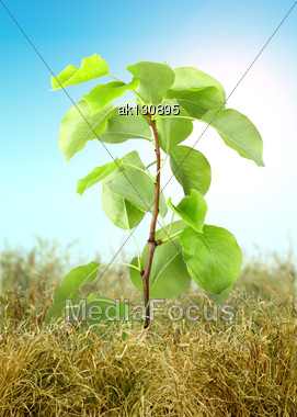 Young Tree Sprout Through The Dry Grass On Blue Sky Background. Studio Photography. Art Design Stock Photo