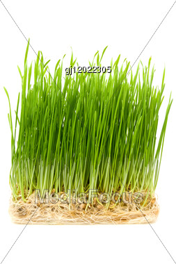 Young Wheat Sprouts Stock Photo