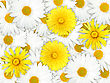 Abstract Background Of Yellow And White Flowers For Your Design. Close-up. Studio Photography. - stock photography