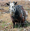 Bearded Goat With Horns stock photo