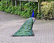 Vibrant Beautiful Peacock Walking In The Park - stock image
