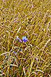 Blue Flowers Of Chicory In A Background Of Wheat Ears stock photography
