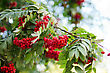 Leaf Stock Photography: Bright Rowan Berries With Leafs On A Tree