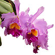 Cattleya Flowers Isolated On White stock photography
