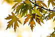 Growth Pictures: Close-up Maple Leaves Season Background