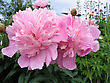 Closeup Of Gentle Pink Peony In Garden