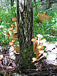 Stock Photo : Basket Stock Photo: Eatable Mushrooms (honey Agarics) Growing At Tree