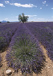 Stock Photo : Field Pictures: Field Of Lavender