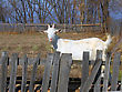 Stock Photo : Creatures Mythical Stock Image: Goat For A Wooden Fence