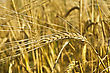 Golden Ear Of Rye On The Background Field stock photography