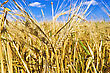 Cornfield Golden Ears Of Corn stock image