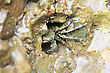 Stock Photo : Small Pictures: Green Crab In The Hole Of Rock In The Sea